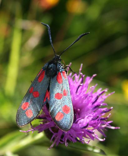 Six-Spot Burnet Zygaena filipendulae Tophill Low NR, East Yorkshire July 2104
