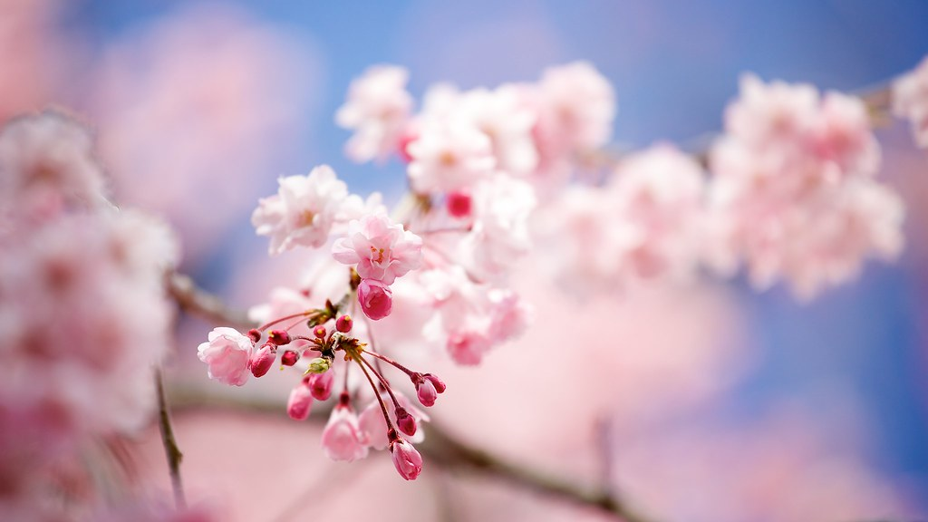 Bourgeons de Sakura