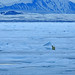 Polar Bear on the pack ice (Bret Charman)