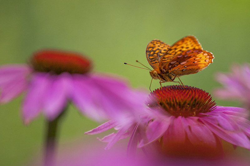 Coneflower and Butterfly