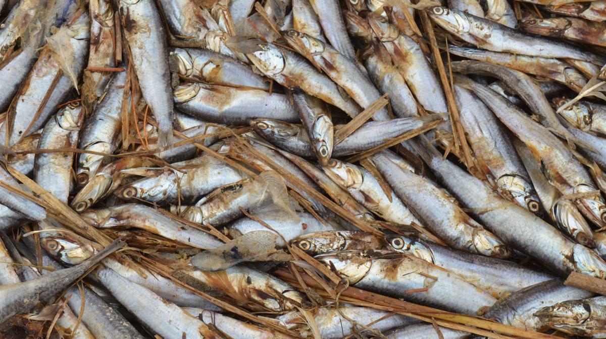 Deceased anchovies