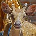 Deer at Pasar Kamis Wairiang, Lembata NTT by Sekitar