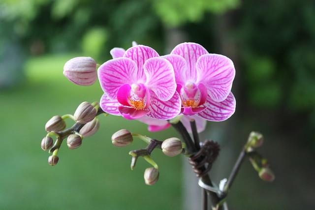 ontario-orchids
