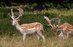 Fallow Deer 1