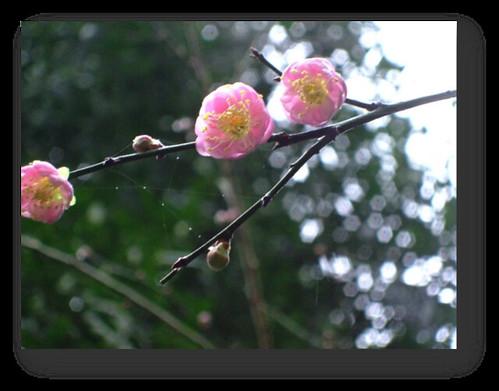 桃園復興鄉-拉拉山-桃源仙谷-鬱金香 (5)