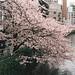 Cherry Blossom by consulibitum