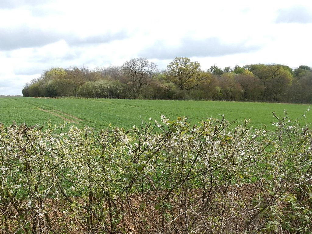flowering hedge Great Chesterford to Newport