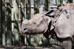 Asian Rhino Profile