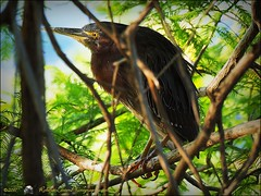 2017-03-24_P3240100_ Green Heron,Crescent Lake