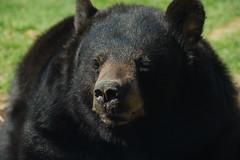Ours brun d'Amérique du nord