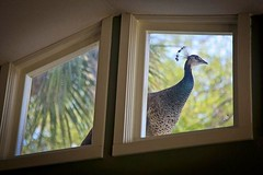I was in the middle of my workout when, David, apologetically called me to witness something surreal.  On the roof on the other side of the clerestory was a Peahen. How random and magical is that. Without missing a beat I grabbed my camera started clickin
