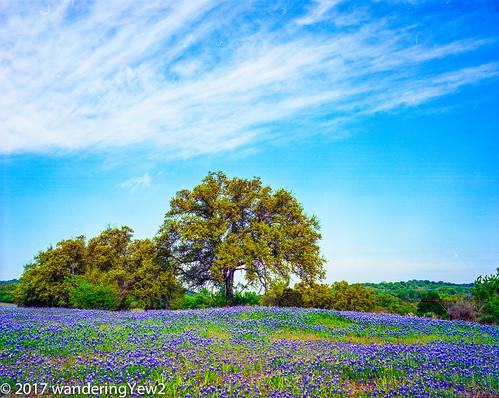 120 hillcountry llanocounty mamiya mamiya7ii texas texashillcountry texaswildflowers bluebonnet film filmscan flower mediumformat wildflower