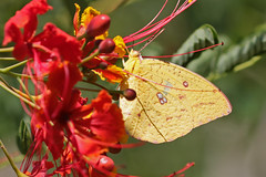 African Clouded Yellow