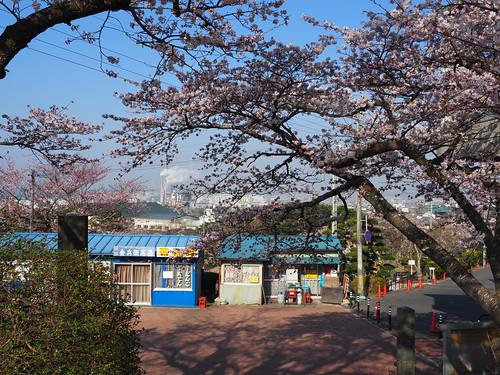 日和山公園の桜2017