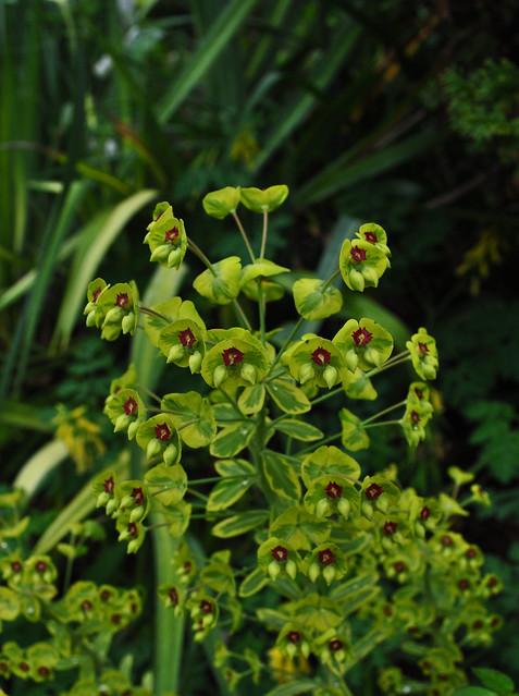 Euphorbia x martinii 'Ascot Rainbow'  (2)