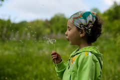 Innocent dandelion