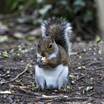 Cosmeston Lakes Wales.Squirrel