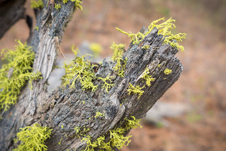 Lichen on Dead Wood