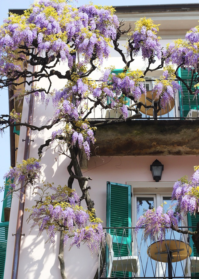 Lago Maggiore Orta purple wisteria