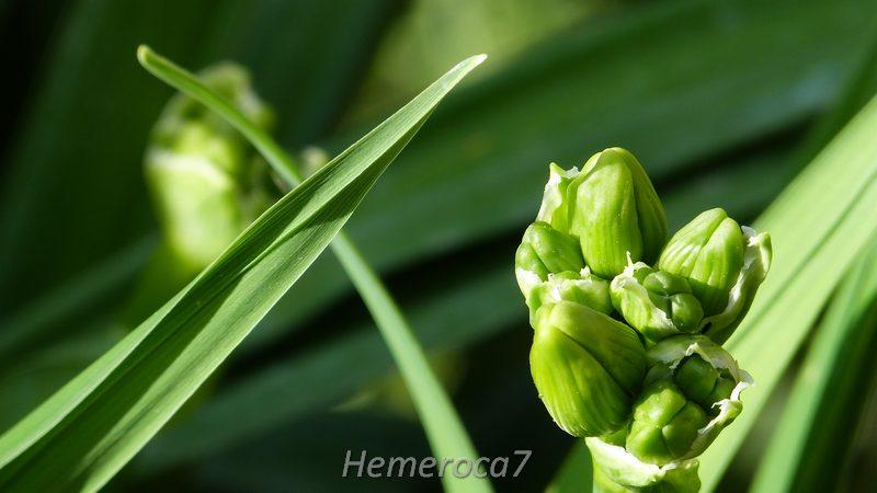 Hybrides 2014 chez hemeroca7 14006313526_40bf75fbae_o