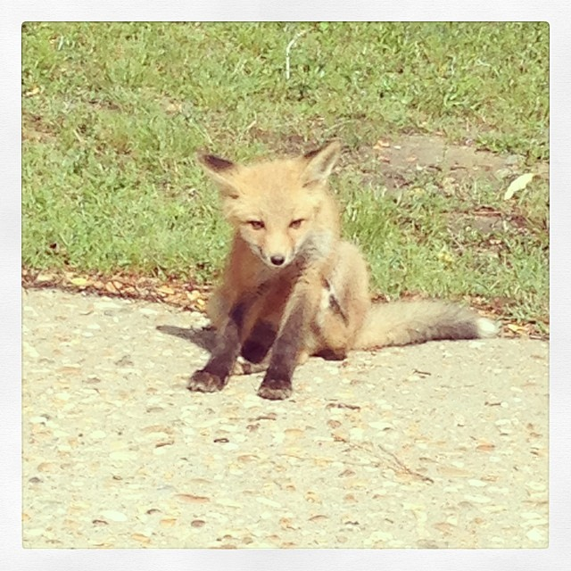 Jamestowne: come for the history, stay for the baby fox.