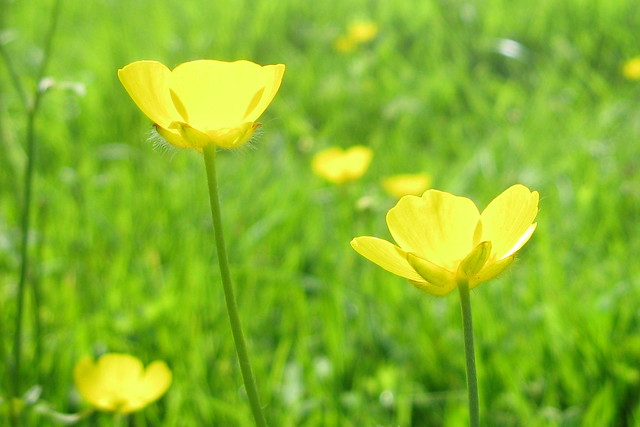 Buttercups from Flickr via Wylio