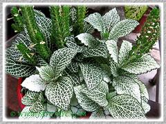 Fittonia albivenis (F. verschaffeltii) [Mosaic Plant, Nerve Plant] Oct 16 2013