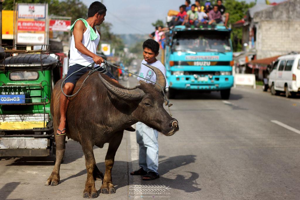 Carabao Alcala Cagayan