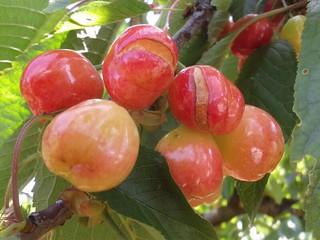 Come si presentano le nostre ciliegie (1)