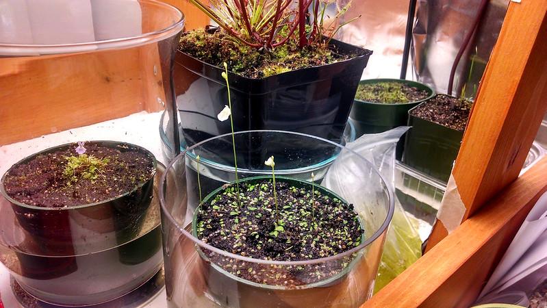 Utricularia livida, starting to bloom.