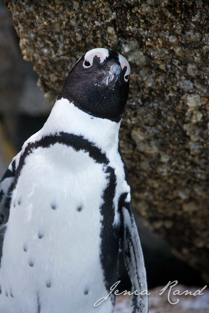 A curious penguin in Boulder Beach