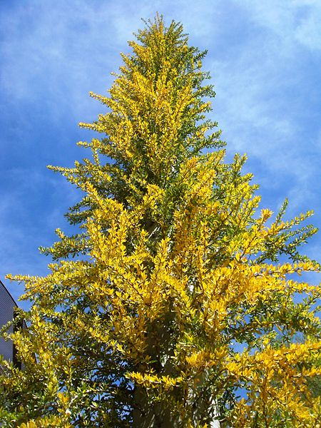 Fouqueria columnaris