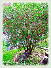 A floriferous Callistemon citrinus tree (Red Bottlebrush, Crimson/Lemon Bottlebrush), seen at Cameron Highlands