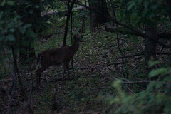 Deer in the dark near the Harpers Ferry Visitor Center Trail