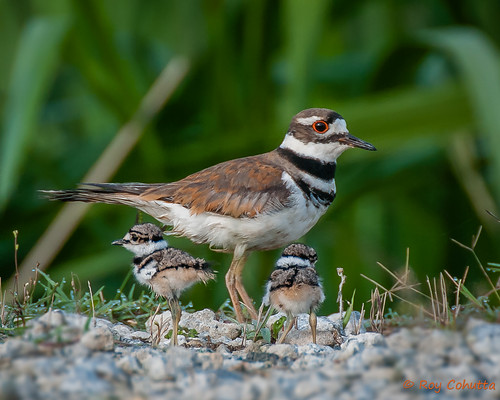 baby bird babies killdeer birdperfect