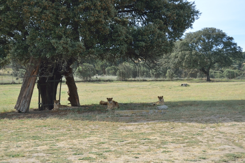 lara-vazquez-madlula-blog-fashion-lions-safari-madrid