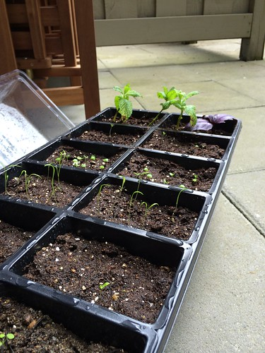 Seeding trays with mint cuttings 2014-05-18