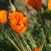 California Poppy by ~MAMA Z~