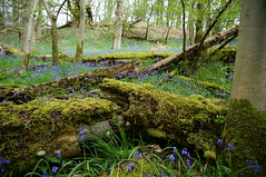 Bluebells - Mugdock Wood - Scotland