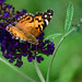 American Painted Lady - 2014 by deanrr