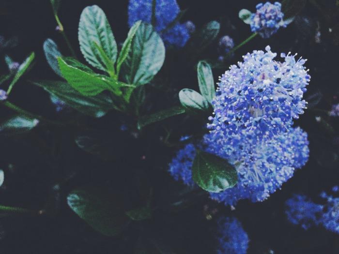 capturing-colour-blue-flowers