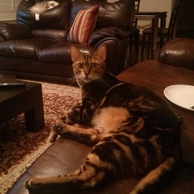 Giant back legs. And a Tyco in the background. #bengal #bengalcat #ragdoll #bengalsofinstagram #cat #cats #cute #catstagram #catsofinstagram #pets #petsofinstagram