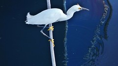 Snowy Egret In For The Kill