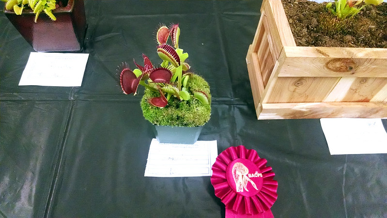 Dionaea muscipula 'Ginormous', Larry Logoteta