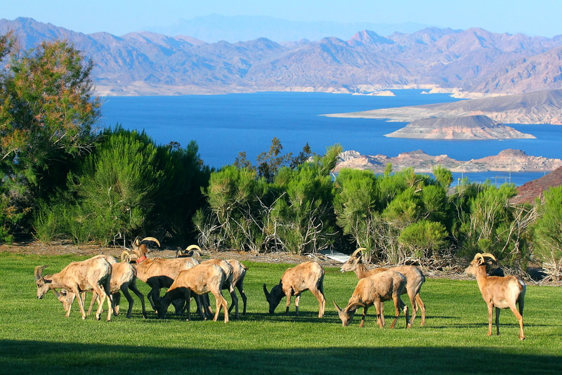 IMG_8471 Desert Bighorn Sheep