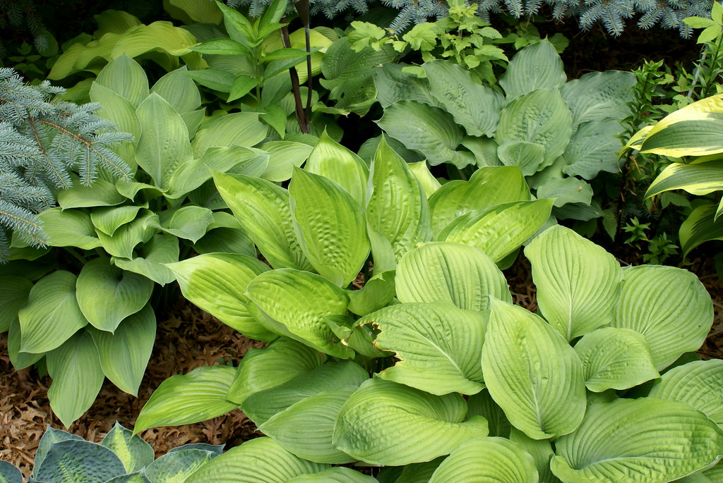 Hosta 'Final Summation' (11)-001