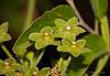 Green Milkweed Vine aka Pearl Milkweed - Matelea reticulata