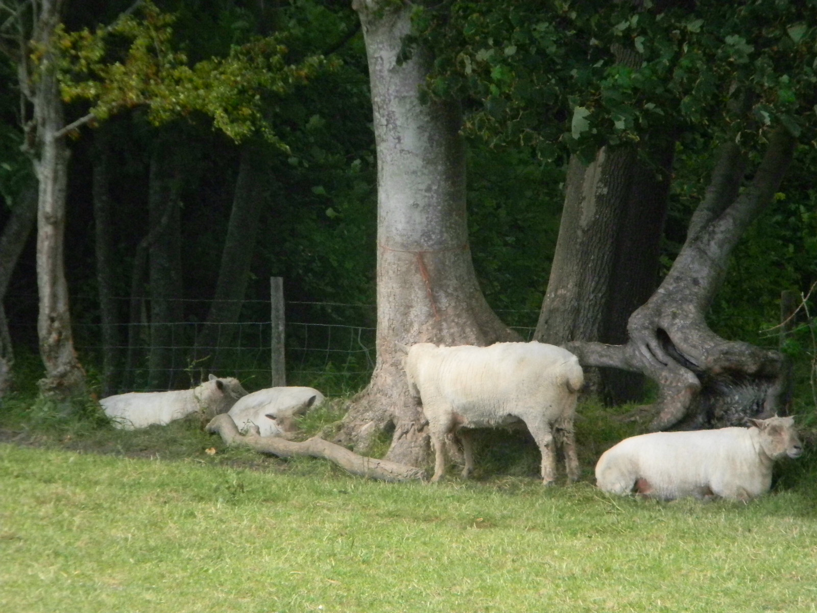 Sheeps in the shade Alciston. Lewes to Berwick