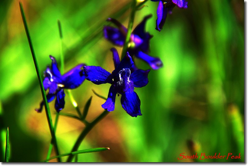 Early Larkspur 1