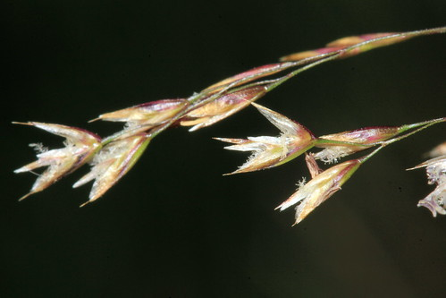 Tufted Hair-grass 30577